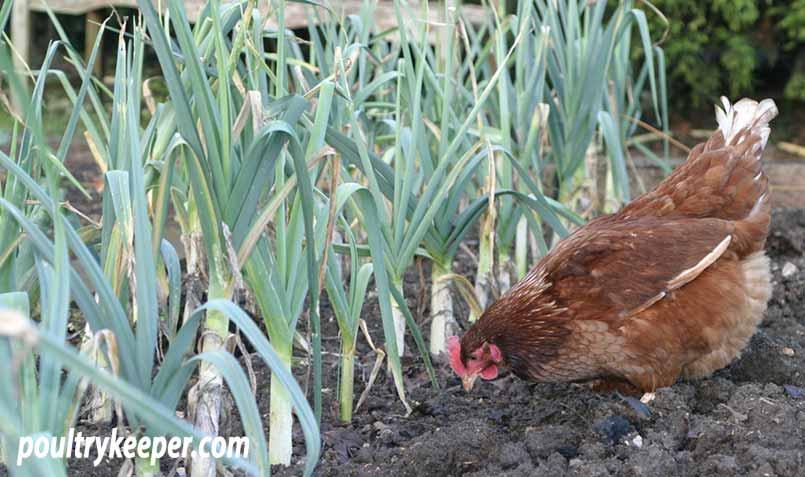 Chicken on a Vegetable Garden