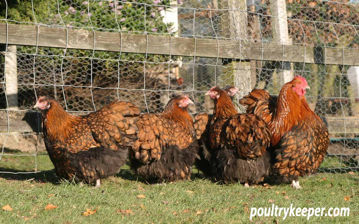 Orpington Chickens Breeding