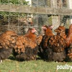 Gold Laced Orpington Breeding Chickens