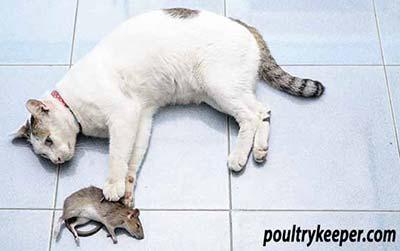 Cat Caught Rat