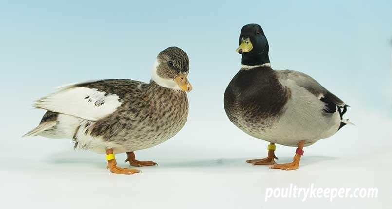 Noisy Call Ducks