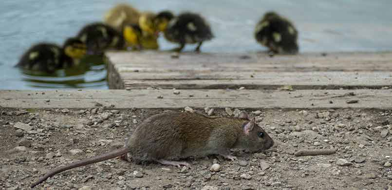 Rats Near Ducklings