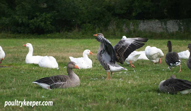 Geese on Village Green