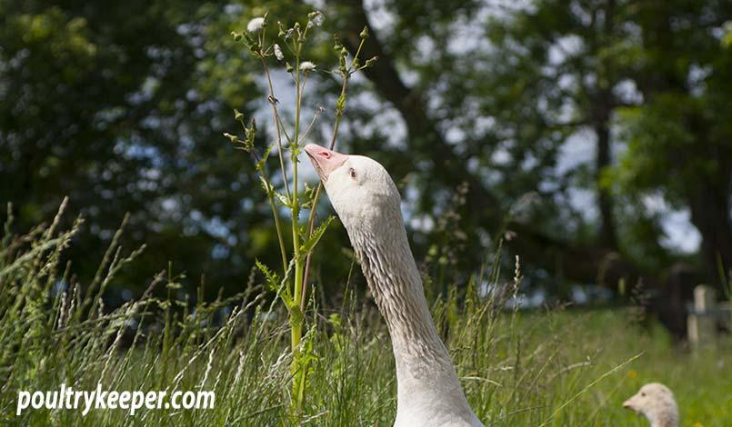 Goose feeding on seed head.