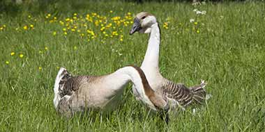 What do geese eat?