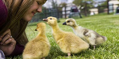 Raising Goslings