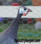 Male Guinea Fowl