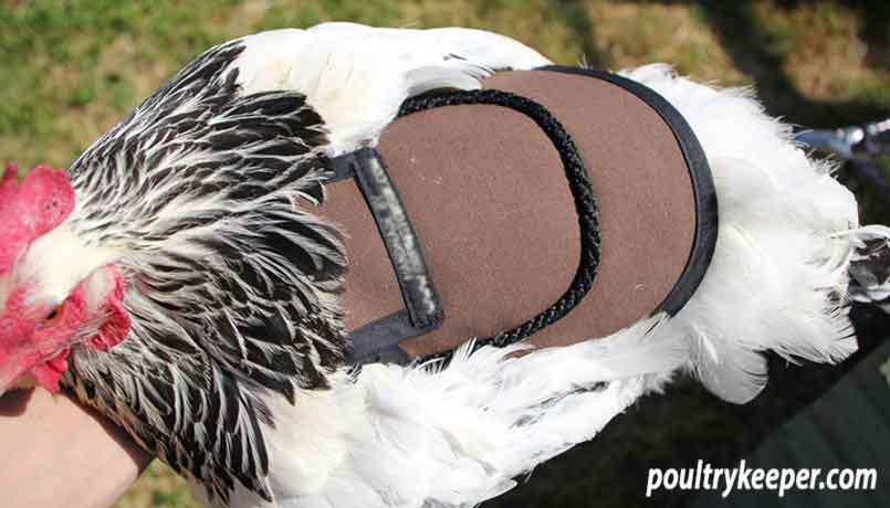 Hen Wearing Poultry Saddle