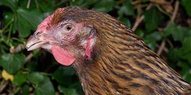 Chicken with Mycoplasma