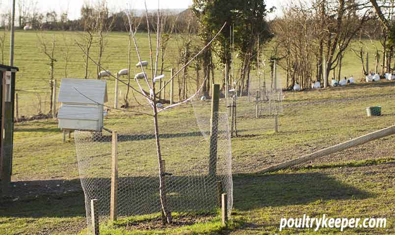 Will Geese Damage Fruit Trees