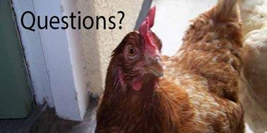 Rehoming Battery Hens FAQ