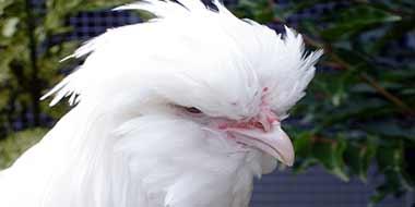Head of White Sultan Chicken