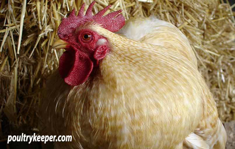 Well Presented Show Chicken