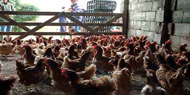 Ex-Battery Hens For Sale