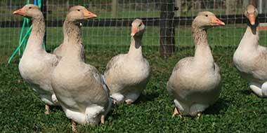 Beginners Guide To Keeping Geese