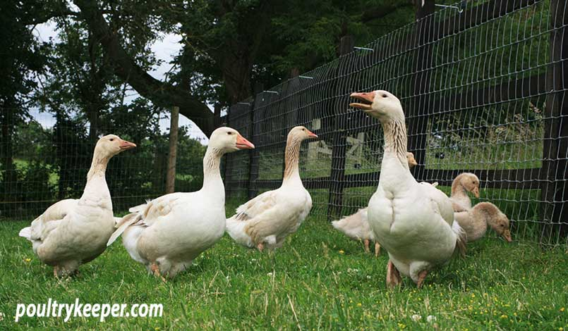 Geese in a Meadow