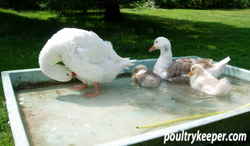 Family of West of England Geese in a Shallow Tub