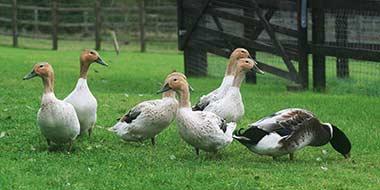Keeping Ducks