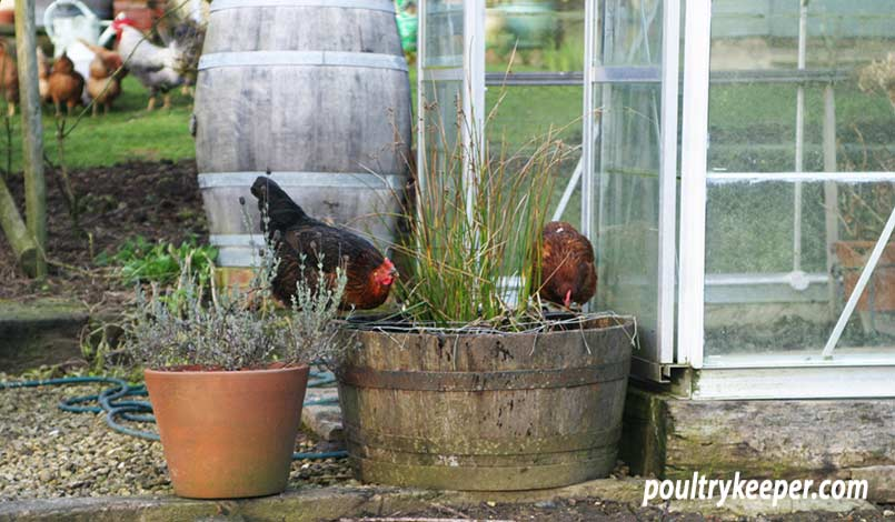 Chickens in Garden Drinking from Barrel