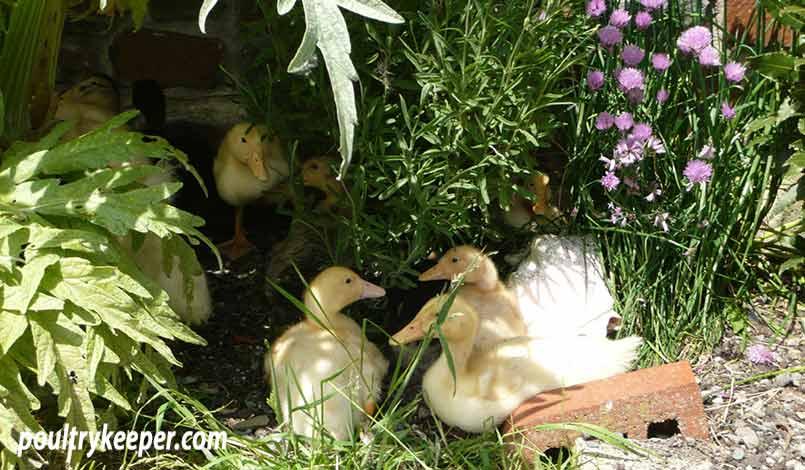 Ducklings in the Garden
