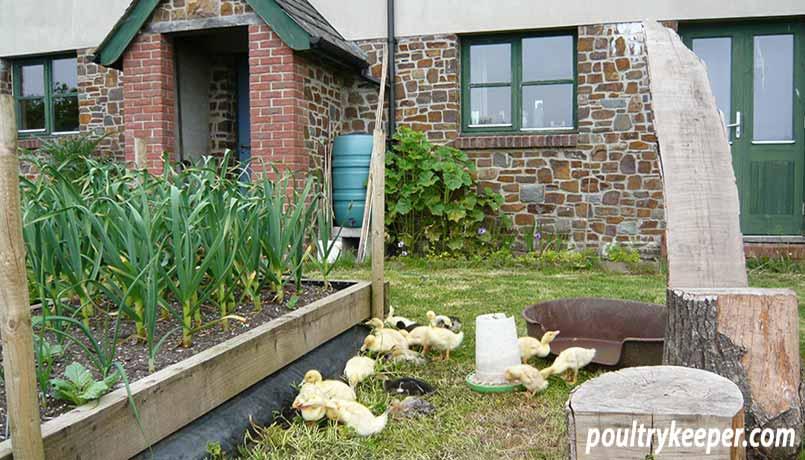 Ducklings in a Vegetable Garden