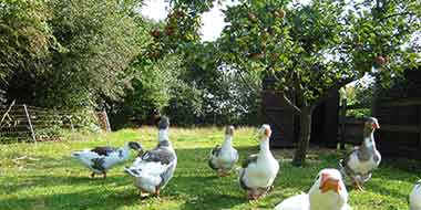 A poultry orchard with geese