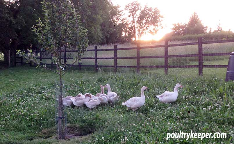 Poultry Orchard