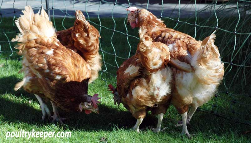 Ex-Battery Hens from Enriched and Colony Cages