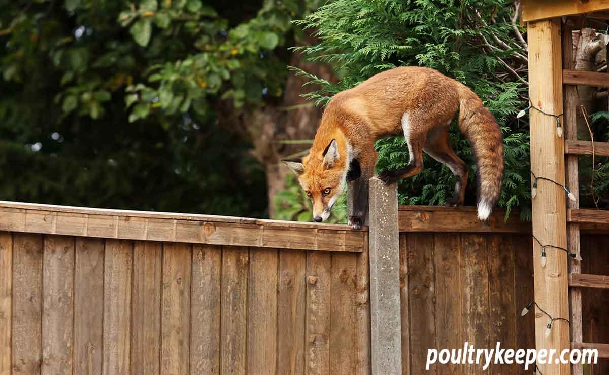 Fox on a garden fence
