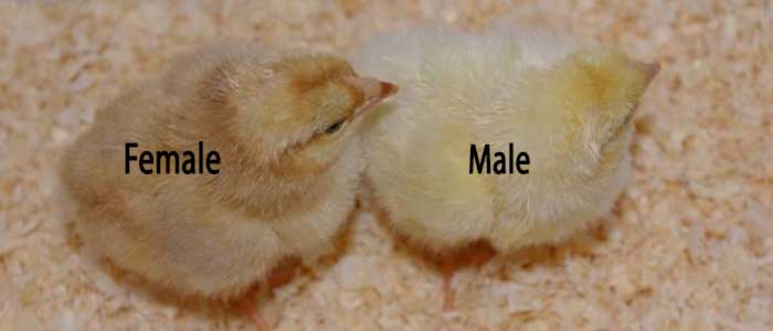 Sex Linked Chicks