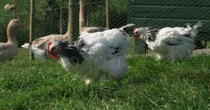 moulting-chickens