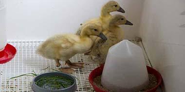 Feeding Ducklings