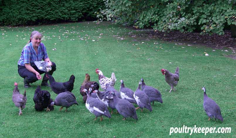 Feeding Guinea Fowl in the Garden