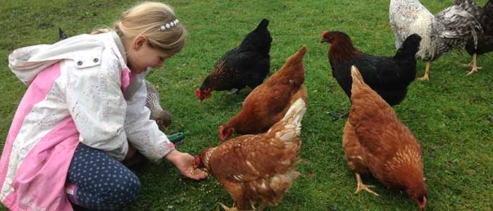 Beginners Guide to Keeping Chickens