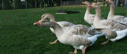 Brecon-Buff-Gander-and-flock