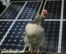 Chicken-and-solar-panels