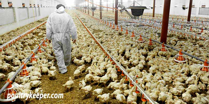 Commercially Raised Broiler Chickens