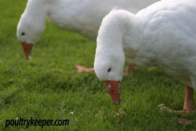 Geese-feeding