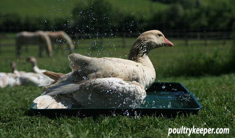 Goose in Bath