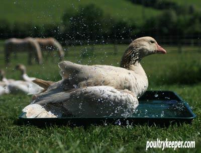 Goose-in-Bath