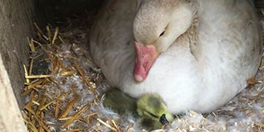 Hatching Goslings with a Broody Goose