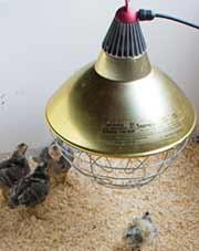 Heat Lamp above Chicks