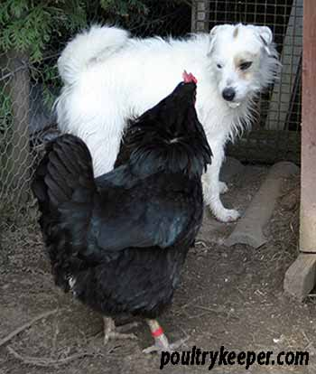 Hen standing up to dog