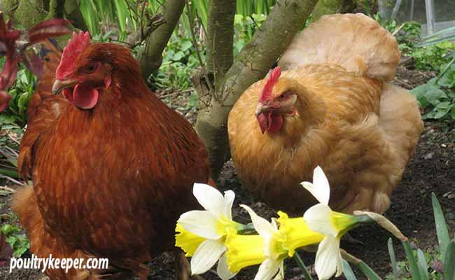 Hens-in-the-Garden