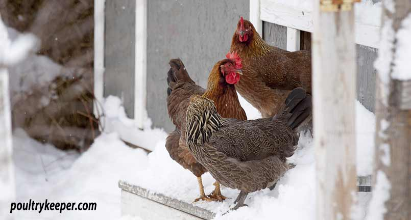 Keeping chickens in cold weather