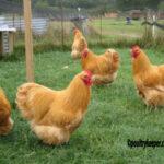 Buff Orpington Cocks