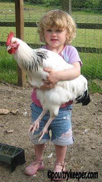 Child holding sussex cockerel