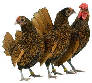 sebright chickens