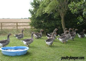 Flock of Toulouse geese