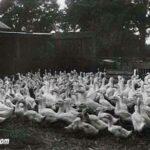 Flock of commercial Aylesbury Ducks